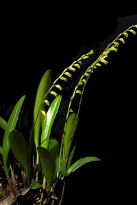 Imagen de la orquídea Stelis mirandi,una nueva especie de Stelis Swartz (Orchidaceae: Pleurothallidinae) de Chiapas, México