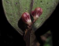 Imagen de la orquídea Trichosalpinx diazzi, una nueva especie del género Trichosalpinx Luer, recolectada en el municipio de Huixtán, Chiapas, México