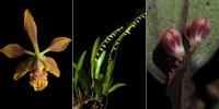 Imágenes de las tres nuevas especies de orquídeas descritas en el estado de Chiapas