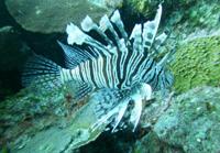 La llegada del pez león (Pterois volitans) a México en el año 2009 es uno de los factores que provocaron un cambio en el estado de salud del ecosistema arrecifal de la costa sur de Quintana Roo.
