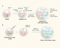 Infografía de células embrionarias editadas con la técnica de CRISPR-Cas9.