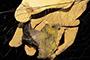 Murciélago polinizador de la especie Leptonycteris nivalis con polen en su cuerpo (manchas amarillas), una de las tres especies de estudio de la doctora Emma Patricia Gómez Ruiz, de la Universidad Autónoma de Nuevo León.