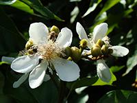 Melipona beecheii polinizando flor de achiote, planta esencial en la cocina tradicional yucateca.