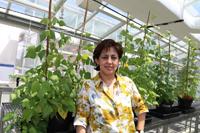 La doctora Alejandra Covarrubias Robles, del Departamento de Biología Molecular de Plantas del Instituto de Biotecnología de la UNAM, ha centrado sus estudios en el frijol, semilla muy importante para el país desde el punto de vista cultural y de consumo.