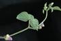 Phaseolus vulgaris y sus numerosas variedades se cultivan en todo el mundo para el consumo, tanto en vainas verdes o como semillas frescas o secas. Es objeto de estudio para conocer su respuesta a la limitación de agua.