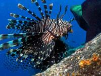 La invasión del pez león se ha extendido a lo largo de la costera de la península de Yuacatán, incluyendo la totalidad de los arrecifes de coral de Mesoamérica y se ha registrado en todo el  Caribe hasta Venezuela.