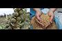 El doctor Luis Ricardo Hernández y su equipo de investigadores de la UDLAP probaron aceites esenciales de cuatro plantas en el trigo y en la harina de trigo para mejorar su almacenamiento y evitar la acumulación de hongos. La salvia de bolita fue la que mostró mayor actividad protectora, tanto in vitro como en trigo cosechado.