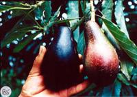 En el país se reconocen tres razas, una de ellas la mexicana (Persea americana var. drymifolia), en la imagen.