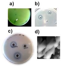 Diferentes compuestos bacterianos. (a) Las bacterias pueden liberar ácidos o péptidos antimicrobianos que inhibien el crecimento de las bacterias. Observese el halo alrededor de una colonia bacteriana la cual inhibe el crecimiento de otra bacteria. (b, c) Bacteriocinas y  quitinasas de Bacillus thuringiensis colocadas en positos localizados en cajas que contienen bacterias (ejemplo B. cereus) o quitina coloidal. Las bacteriocinas (b) y (c) quitinasa aniquilan a otras bacterias e hidrolizan quitina, respectivamente. (d) Fotografia de cristales insecticidas de B. thuringiensis tomadas mediante microscopia electrónica de barrido.