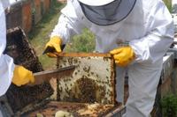 La apicultura es una de las actividades agropecuarias que se relaciona de forma especial con la luz. Estos insectos para producir miel recolectan de las flores el néctar, que depende de la asimilación de azúcar de las plantas y de la conversión de materia inorgánica en materia orgánica gracias a la energía que aporta la luz, es decir, la fotosíntesis.