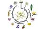 El modelo de la flor ancestral permite conocer las características morfológicas del ancestro común de las más de 300 mil especies vivientes de plantas con flor y también reconstruir cómo eran las flores en diferentes etapas a lo largo de la evolución de las angiospermas.