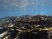 Coral cuerno de alce (Acropora palmata) en el Arrecife Limones.