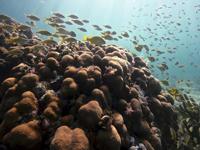 Peces asociados a otro importante coral constructor de hábitat en el Caribe, el coral Orbicella  spp.