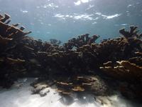 Coral cuerno de alce en el Arrecife Limones.