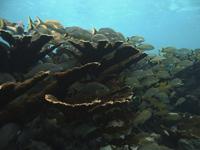 Peces asociados al coral cuerno de alce en el Arrecife Limones.