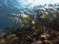 Diversidad de peces asociados a un arrecife coralino en Puerto Morelos.