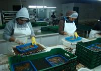 """Limpieza de la gónada en la planta procesadora """"Buzos y Pescadores del Ejido Coronel Esteban Cantú S.P.R. de R.L., en la península Punta Banda al norte de Ensenada, Baja California."""
