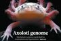 Para la secuenciación del genoma del axolote se utilizaron ejemplares albinos (poco comunes en la naturaleza) y cafés del laboratorio de la doctora Elly M. Tanaka, de las coautoras principales del artículo de portada en Nature, en el que participaron a través de un consorcio internacional investigadores mexicanos.