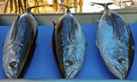 Dentro de las especies de pescados que se recomiendan a personas que padecen diversas enfermedades renales está el Albacora, por su proteína de alto valor biológico. En la imagen.