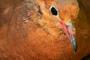La paloma de Socorro desapareció en estado silvestre entre 1972 y 1978, ahora un grupo de investigadores trabaja en un proyecto para reintroducir a esta ave en su isla de origen en Revillagigedo, México.