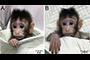 Los macacos cangrejeros Zhong Zhong (izquierda) y Hua Hua (derecha), primates clonados con la misma técnica que se utilizó para la oveja Dolly, fueron noticia en los primeros meses del año y tema de debate desde varias perspectivas, que fueron desde la técnica que se utilizó para la obtención de estos animales hasta las consideraciones éticas del uso de los primates para experimentación.