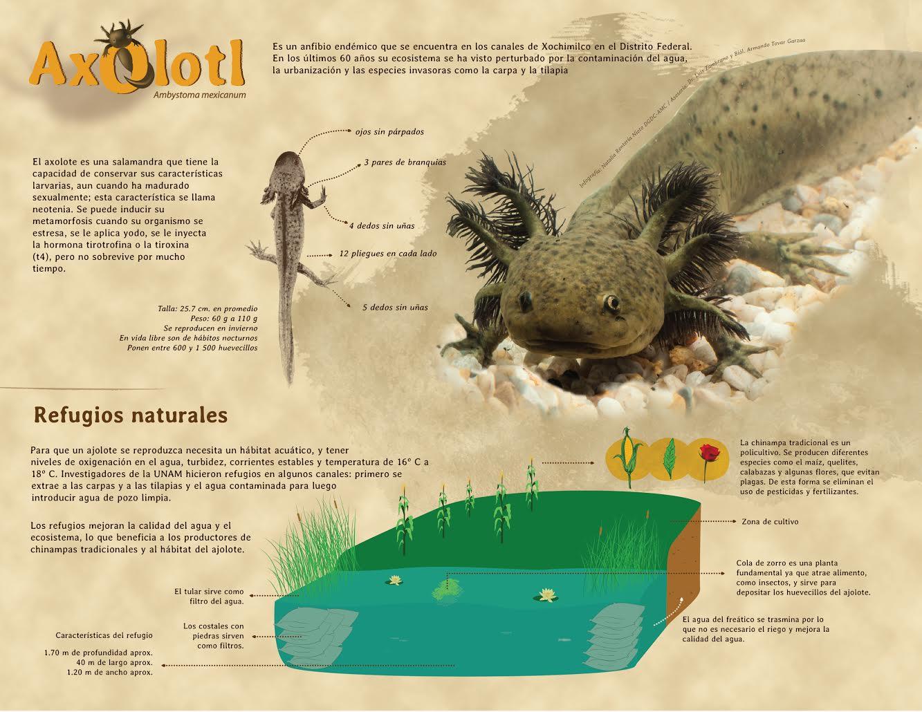 Infografía del Axolotl