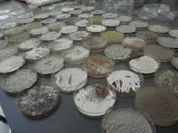 Colección de bacterias aisladas del medio ambiente para buscar antibióticos y anticancerígenos.