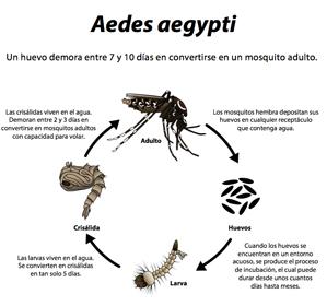 Ciclo de vida del mosquito Aedes aegypti.