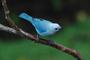 Cada especie de ave responde a los cambios ambientales de diferente manera. En la imagen la tángara azul-gris (Thraupis episcopus).