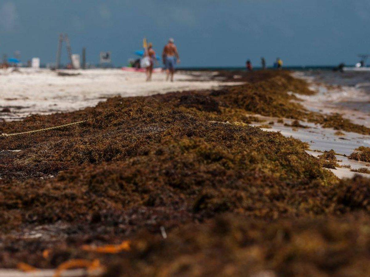 El impacto del sargazo es complejo e importante de comprender porque no sólo afecta al turismo, sino a los ecosistemas marinos y terrestres.