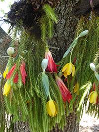Las tres plantas más usadas como adornos durante la Semana Santa en Zaachila, Oaxaca, son: la disciplina (Huperzia serrata), el junco rojo (Disocactus ackermannii) y el lirio amarillo (Prosthechea karwinskii).