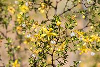 En la imagen: Planta Larrea tridentata, conocida comúnmente como gobernadora, contiene compuestos con actividad antituberculosa similares al etambutol, sustancia utilizada para el tratamiento de esta enfermedad altamente contagiosa.