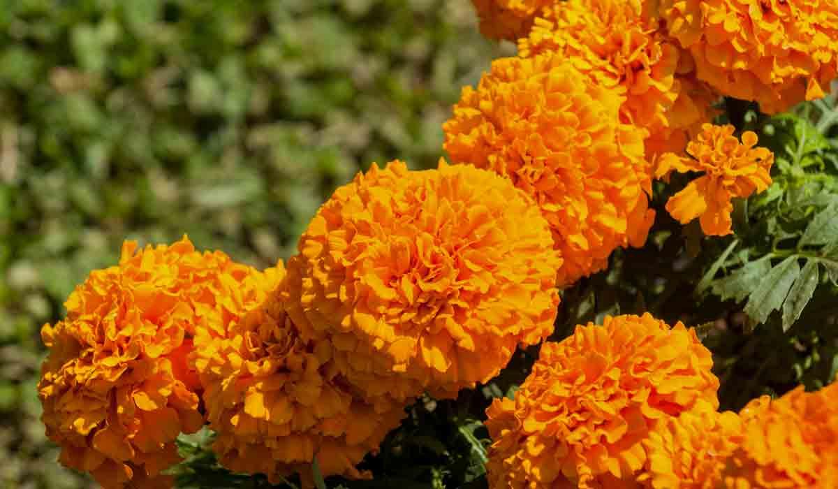 Cempasúchil, planta medicinal utilizada en comunidades rurales y urbanas para el alivio de diferentes tipos de dolor.