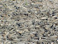 Pez Diablo o pleco en la presa El Infiernillo, Michoacán. Originario de la cuenca del Amazonas en Sudamérica su depredador natural es el cocodrilo, no obstante en México no hay presencia de estos reptiles en presas.