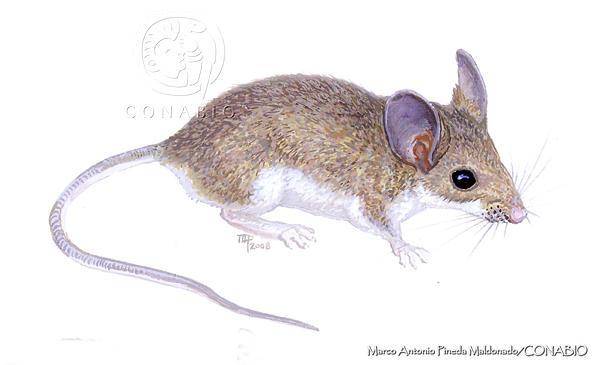 Roedor Peromyscus leucopus cozumelae, animal endémico de Cozumel, los investigadores sugieren que pudiera estar extinto.