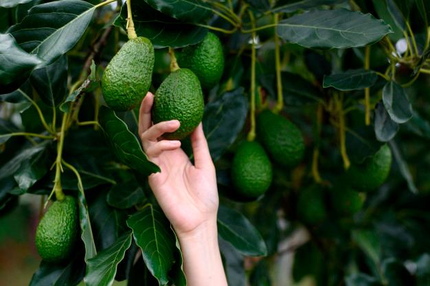 El aguacate Hass tiene un componente genético mayoritario de la variedad mexicana Persea americana var. drymifolia y alrededor del 39% de la variedad guatemalteca.