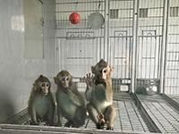 En la imagen, Zhong Zhong y Hua Hua (izquierda y centro) acompañados por otro primate de mayor edad.