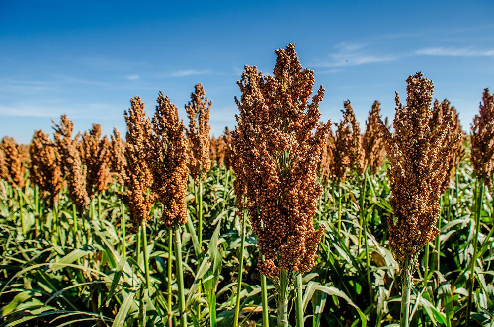 El sorgo es un cereal con potencial para consumo humano y para aprovechamiento de su biomasa para usos industriales.