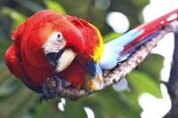 Guacamaya roja (Ara macao cyanoptera). En la actualidad, la presencia de esta ave se restringe a la selva Lacandona en el estado de Chiapas.