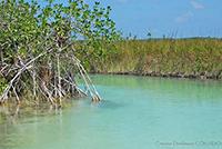 Imagen: Manglares en la Reserva de Sian Ka´an, en Quintana Roo. Los manglares son los ecosistemas que por unidad de área retienen más carbono que cualquier otro ecosistema terrestre, evitando con ello la emisión de este gas a la atmósfera.