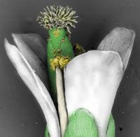 Una flor de la planta Arabidopsis thaliana con sus 4 sépalos (verde), 4 pétalos (blanco), estambres con su polen (amarillo) y en el centro está el gineceo o pistilo (verde).